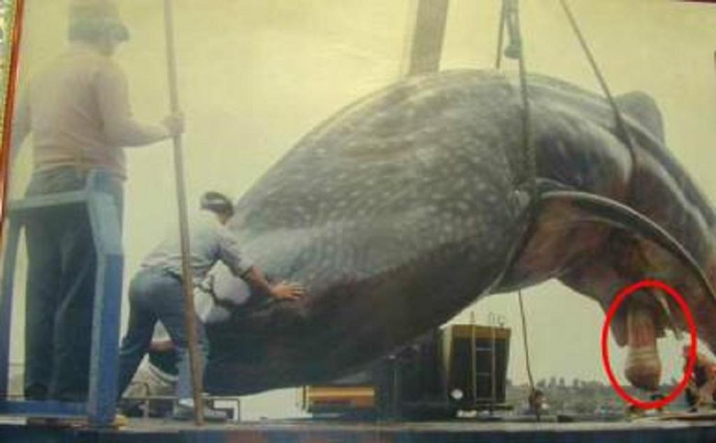 член кита фото