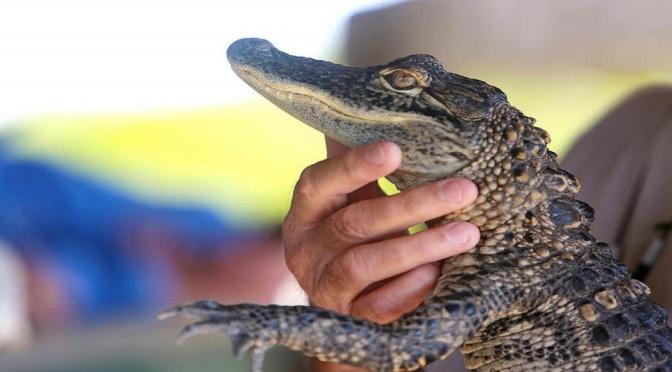 Ep. 254 Pants Alligator